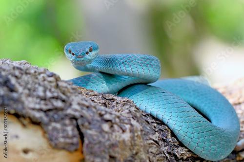 niebieski-insularis-pit-viper-snake-trimeresurus