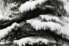 Winter Landscape. Spruce (Fir-tree) Or Christmas Trees Under The Snow After The Night Snowfall. Snowy Winter Park In Snowdrifts In The Central Part Of Town