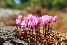 Wild Cyclamen Flowers Growing ...