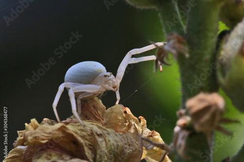 Photo Araignée crabe