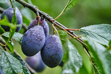 Plum Fruit On Tree Branches