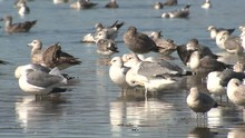 Ring-Billed Gull Adult Young R...