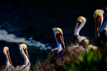 Colorful Brown Pelicans With Y...