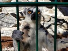 Lemuren: Katta In Einem Gehege