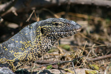 Nile Monitor Lizard Close-up In The Chobe River Area In Botwana. Varanus Niloticus.