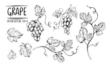 Outline Grapes, Leaves, Berries. Hand Drawn Sketch Converted To Vector. Isolated On White Background.