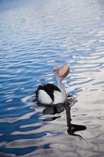 Australian Pelican Catching Fi...
