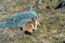 Sitting Marmot On A Alpine Mou...
