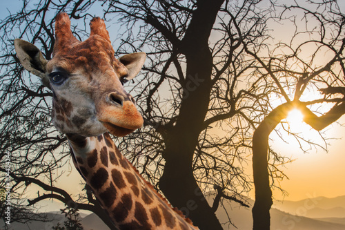 Giraffe on a background of cloudy sky at sunset. Canvas Print