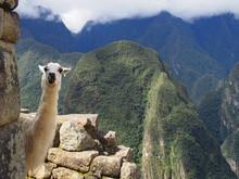 Cute Llama Playing Outside, Ma...