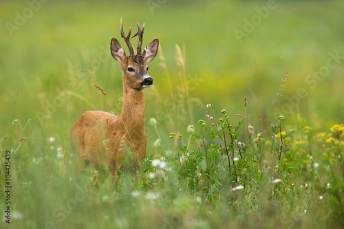 Foto op Plexiglas Ree Elegant roe deer, capreolus capreolus, buck standing on a blooming meadow with flower in summer. Male deer with antlers looking aside with copy space. Wild animal in nature.