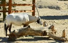 An Arabian Oryx In A Zoo In Ameirca