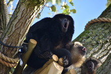 Funny Howler Monkeys At The Zoo