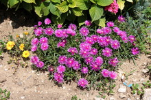 Hardy Iceplant Or Delosperma Cooperi Or Trailing Iceplant Or Pink Carpet Dwarf Perennial Plant With Open Blooming Magenta Flowers Surrounded With Dry Soil And Other Plants In Local Home Garden On Warm