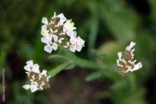 Statice or Limonium sinuatum or Wavyleaf sea lavender or Sea lavender or Notch l Canvas Print
