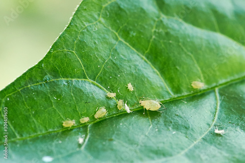 small aphid on a green leaf in the open air Wallpaper Mural