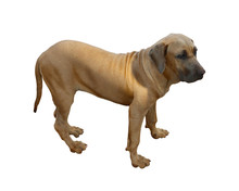Pointers, Hungarian Dogs, Vizsla, Dogs In Autumn Time, Isolated On A White Background. Buried Clipping Path