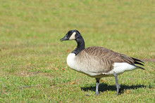 Canada Goose On Green Grass