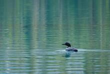 A Loon On A Greenish Blue Lake