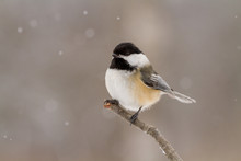 A Close Up Of A Black Capped Chickadee On A Branch In Winter