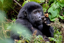 A Baby Mountain Gorilla Feeds In Bwindi Impenetrable Forest.
