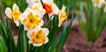 White Daffodils With Yellow Middle In Flower Garden_
