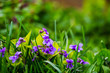 Purple violets among green grass in spring forest. Spring flowers_