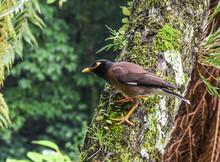 Minah Bird On A Tree
