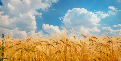 Fototapeta Ripe spikelets of ripe wheat. Closeup spikelets on a wheat field against a blue sky and white clouds. obraz