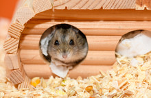 The Djungarian Hamster Is Looking Out From The Wooden House.