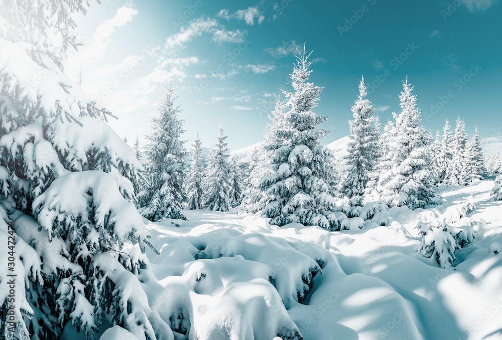 Fototapeta Gorgeous white spruces on a frosty day. Location place Carpathian national park, Ukraine, Europe.