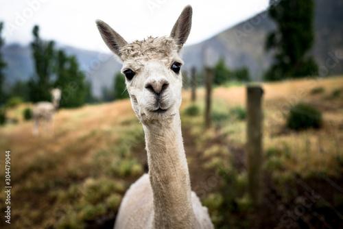 Photo Funny Portrait of a sheared lama - Cute Alpaca