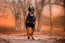 Doberman Lovely Dog magi...