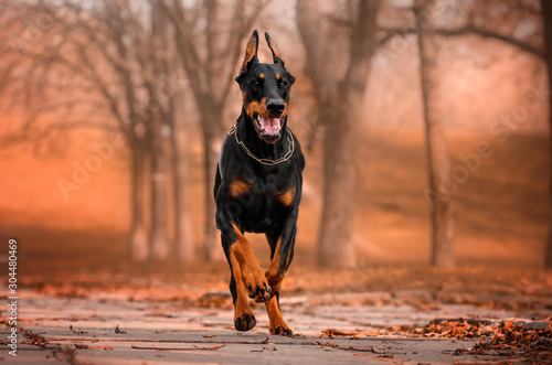 doberman lovely dog ​​magical portrait fun walk in autumn park Poster Mural XXL