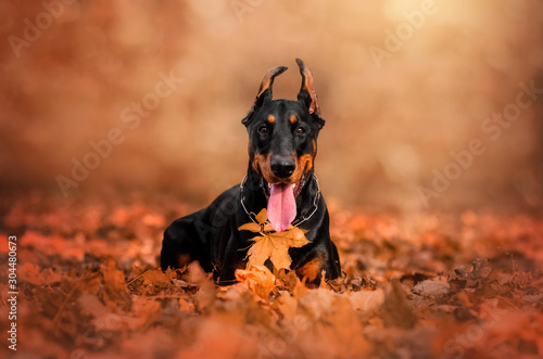 Fotografia doberman lovely dog ​​magical portrait fun walk in autumn park