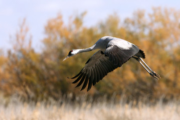 Common crane in a wetland in the morning, Grus grus, birds, cranes