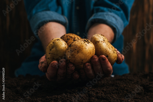 cropped view of farmer holding dirty natural potatoes near ground