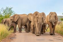 A Herd Of Elephants ( Loxodont...