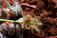 Root From Grafting Lime Tree B...