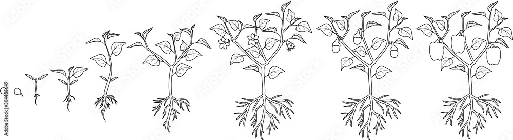 Fototapety, obrazy: Coloring page. Life cycle of pepper plant. Growth stages from seed to flowering and fruiting plant with ripe peppers isolated on white background