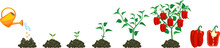 Life Cycle Of Pepper Plant. Gr...
