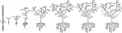 Coloring page. Life cycle of pepper plant. Growth stages from seed to flowering and fruiting plant with ripe peppers isolated on white background #304485649