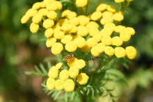 Bee Feeding From A Tansy (Tanacetum Vulgare) Or Golden Buttons