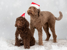 Australian Labradoodle On A Christmas Background. Xmas Dog Concept Image.