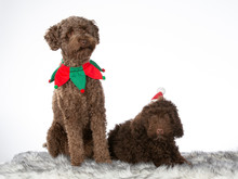 Christmas Dog Concept Image. Two Australian Labradoodle Dogs With Christmas Outfits. Isolated On White.