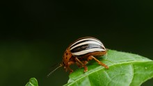 False Potato Beetle Leptinotar...