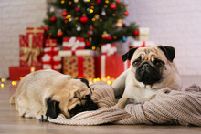 Two Adorable Pugs Over The Christmas Tree With Blurry Festive Decor. Portrait Of Beloved Dogs With Wrinkled Face At Home And Pine Tree With Bokeh Effect Lights. Close Up, Copy Space.