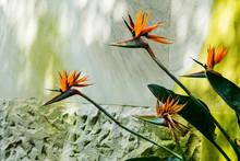 Orange Strelitzia Flowers Growing In Front Of Marble Wall