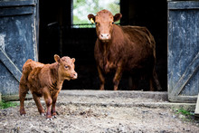 Brown Cow And Calf Standing Ou...