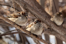 A Group Of Sparrows Is On The Brown Branch Of A Tree In The Park In Winter